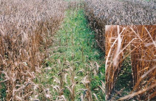 Thompson Farm wheat plots