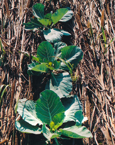 no-tillage cabbage plants