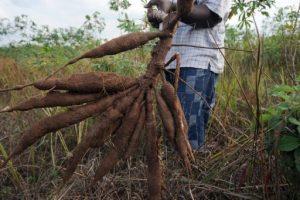 cassava roots Nigeria