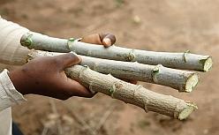 cassava sticks for planting
