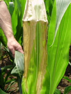 leaf scorch example in corn