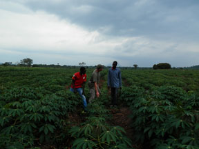 inspecting cassava growth with Caltech field staff