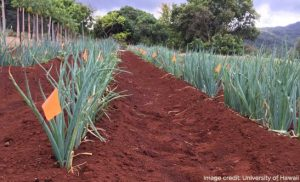 Earthing up Negi onion in Hawaii
