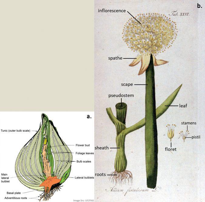 Allium duplex image