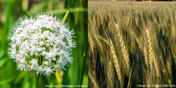allium and wheat flowering